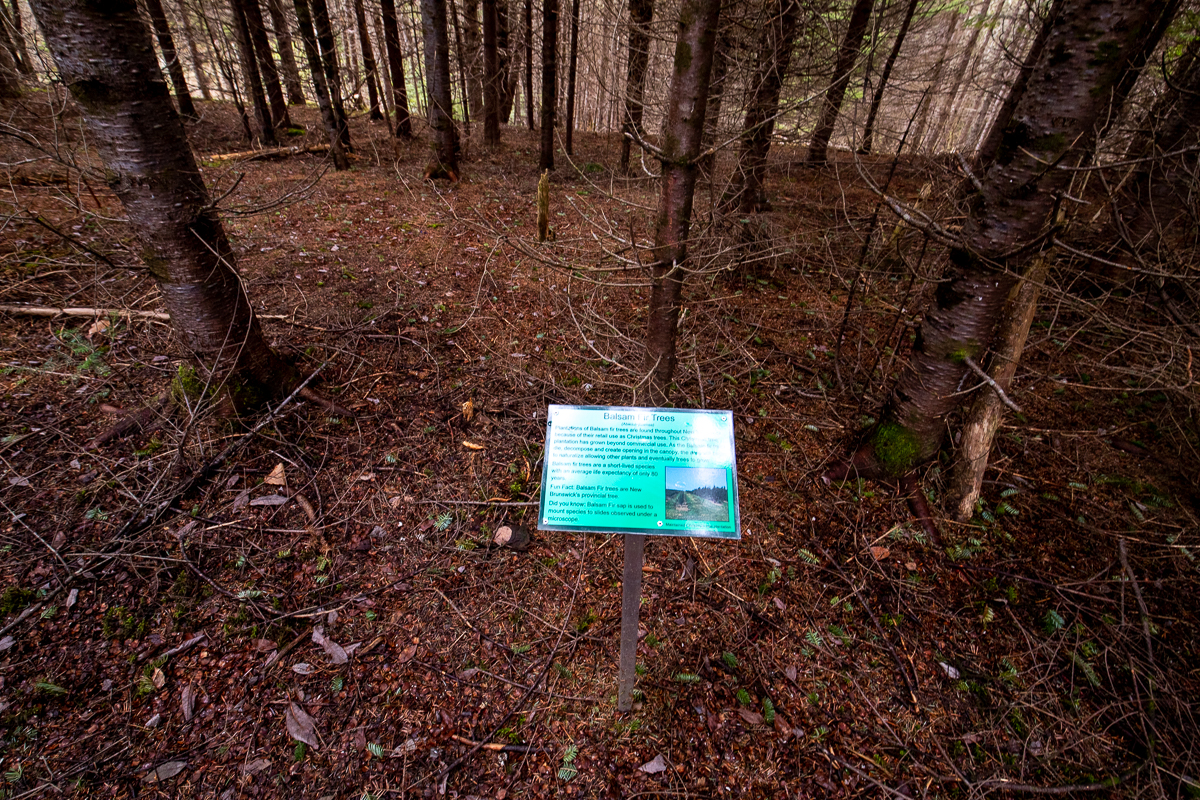 Balsam Fir Tree sign on the Gold Trail at Bell Flats in the Meduxnekeag Valley Nature Preserve