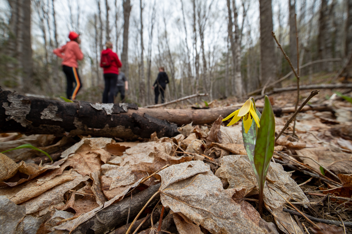 Trout lilies on the Gold Trail at Meduxnekeag Valley Nature Preserve